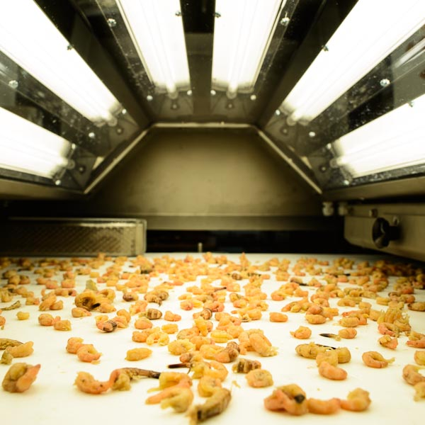 Shrimps on a conveyer belt, being scanned.